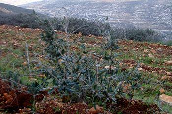 New Olive Tree